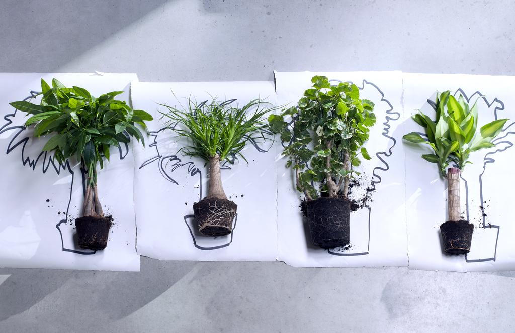 januar 2016 zimmerb ume sind die zimmerpflanzen des