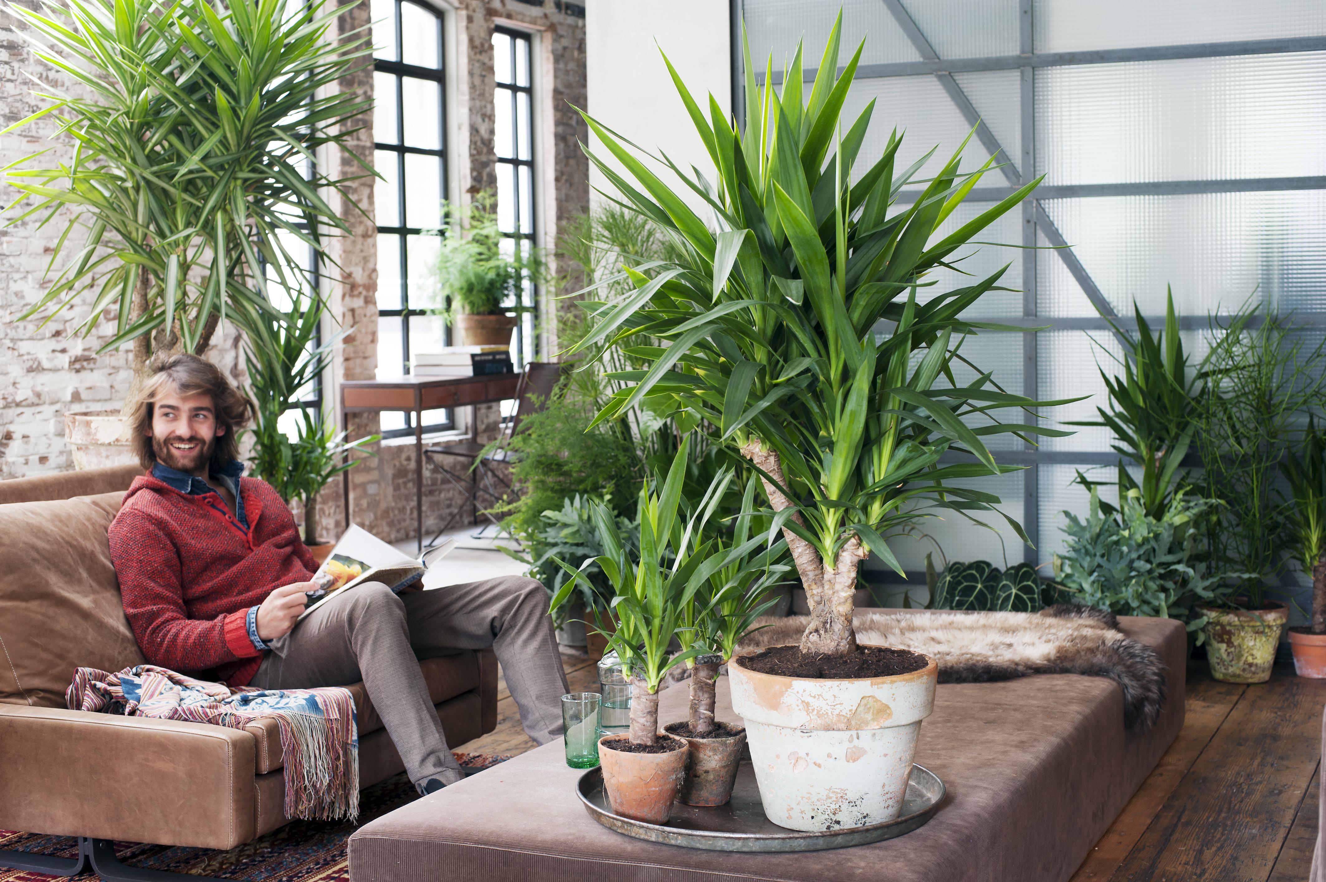 januar 2015 die yucca ist die zimmerpflanze des monats blumenb ro. Black Bedroom Furniture Sets. Home Design Ideas