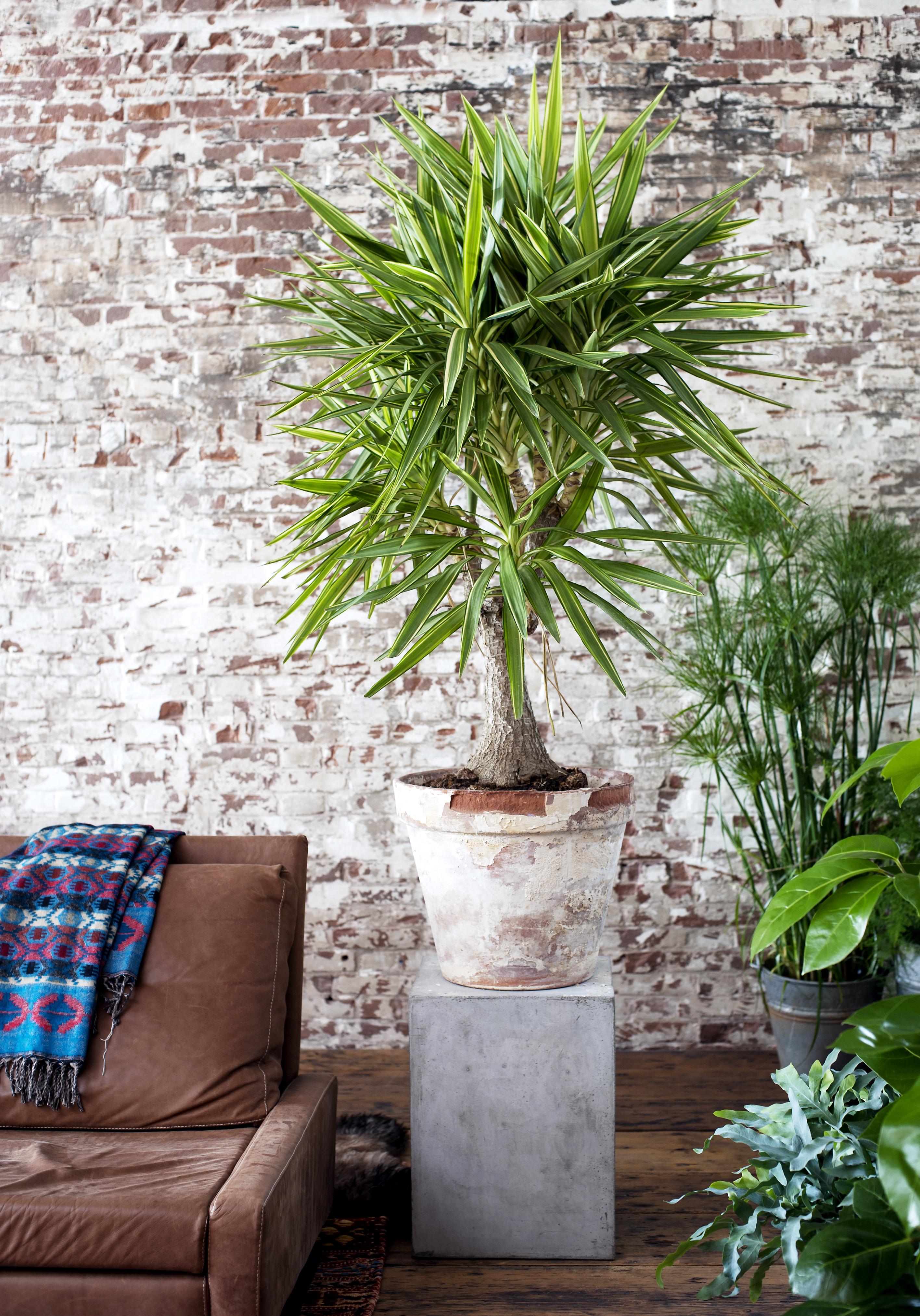 januar 2015: die yucca ist die zimmerpflanze des monats | blumenbüro - Grose Wohnzimmer Pflanzen