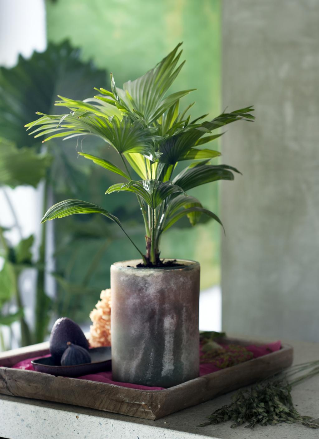 Exklusive Palmen Zimmerpflanzen des Monats Februar | Blumenbüro