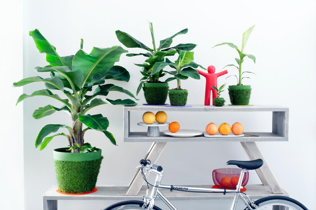 Etwas Neues genug Bananen Zimmerpflanze des Monats April | Blumenbüro #LL_99