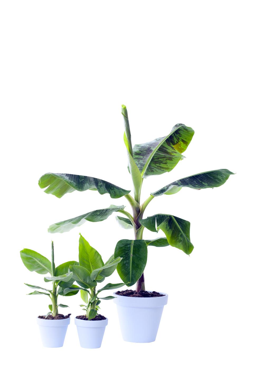 Außergewöhnlich Bananen Zimmerpflanze des Monats April | Blumenbüro &EN_48