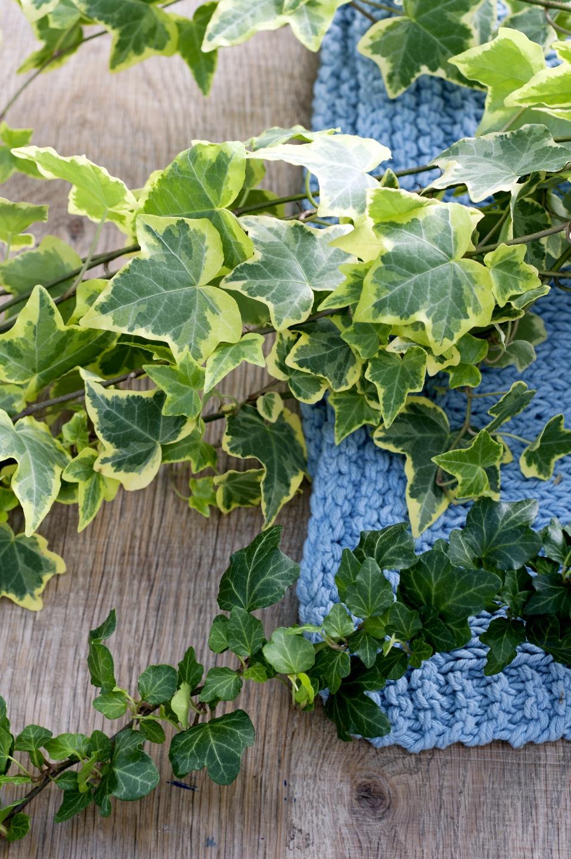 april 2015 der efeu ist die zimmerpflanze der monats blumenb ro. Black Bedroom Furniture Sets. Home Design Ideas