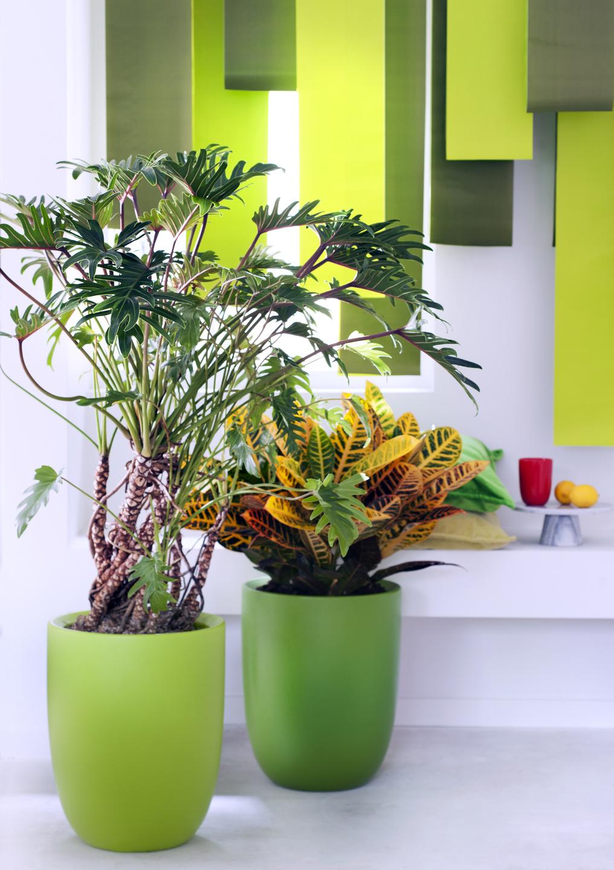 Zimmerpflanzen Direkte Sonne Vertragen männerpflanzen zimmerpflanzen des monats juni blumenbüro