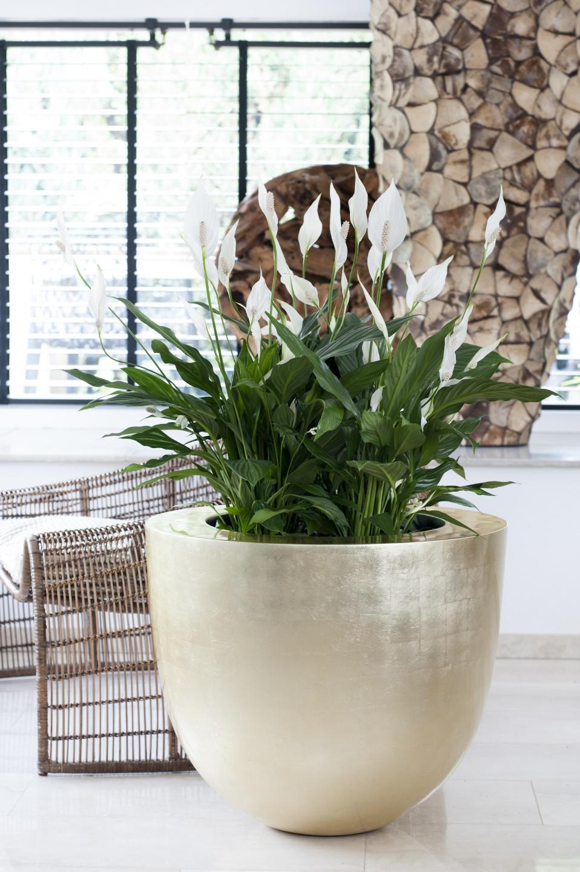 Juni 2015 das einblatt ist die zimmerpflanze des monats for Dekorative bilder wohnzimmer