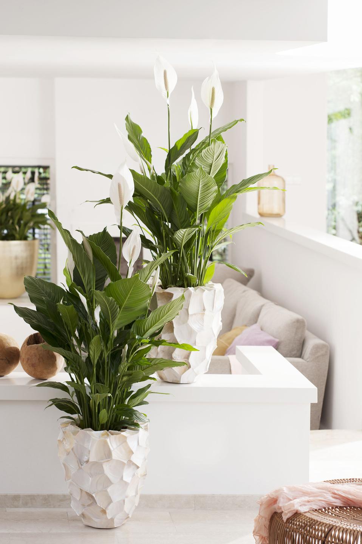 Einblatt Ist Zimmerpflanze Des Monats Juni Das Einblatt Sorgt Fur