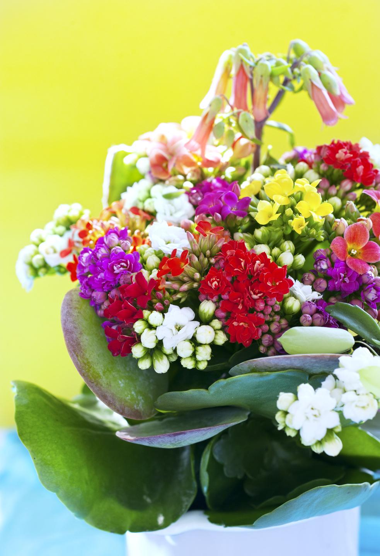 Kalanchoe Zimmerpflanze Des Monats Juli 2017 Blumenbüro