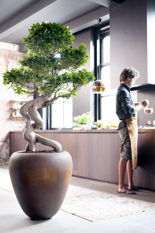 Juli 2015: Ficus Ginseng ist die Zimmerpflanze des Monats   Blumenbüro