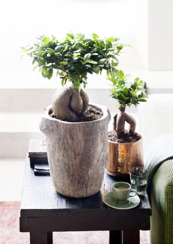 Juli 2015: Ficus Ginseng Ist Die Zimmerpflanze Des Monats | Blumenbüro Ficus Ginseng Bonsai Einpflanzen Tipps