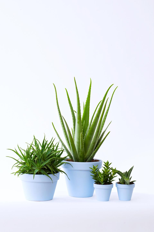 Aloe zimmerpflanze des monats august 2017 blumenb ro - Zimmerpflanze rankend ...