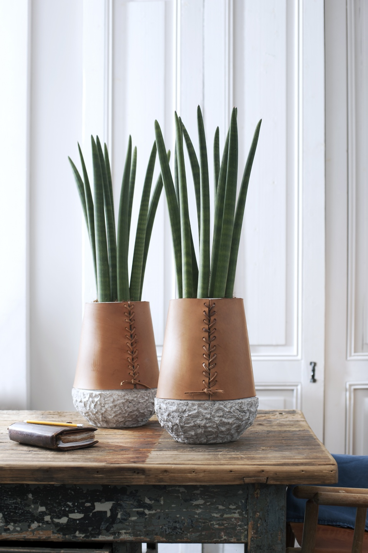 august 2015 der bogenhanf zimmerpflanze des monats blumenb ro. Black Bedroom Furniture Sets. Home Design Ideas
