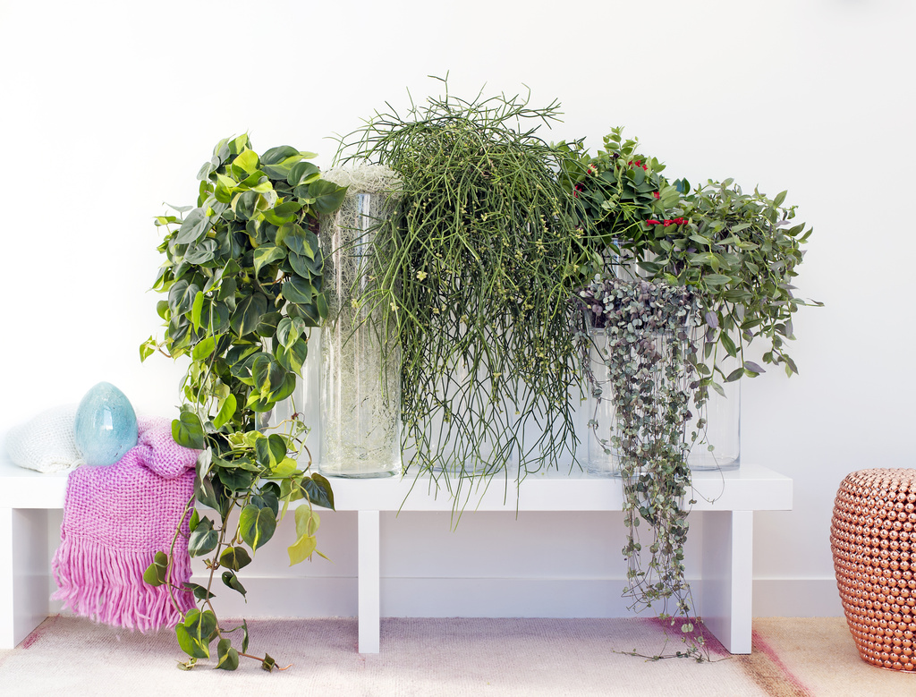 September 2016 h ngende zimmerpflanzen zimmerpflanzen des monats blumenb ro - Plantas de interior baratas ...