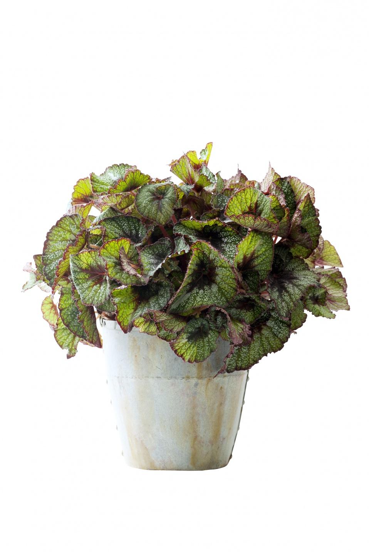 Oktober 2015 die begonie ist zimmerpflanze des monats blumenb ro - Begonie zimmerpflanze ...