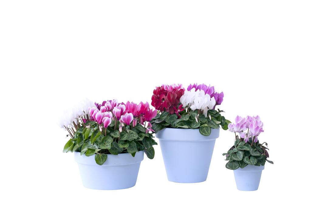 Alpenveilchen zimmerpflanze des monats november blumenb ro - Zimmerpflanze rankend ...
