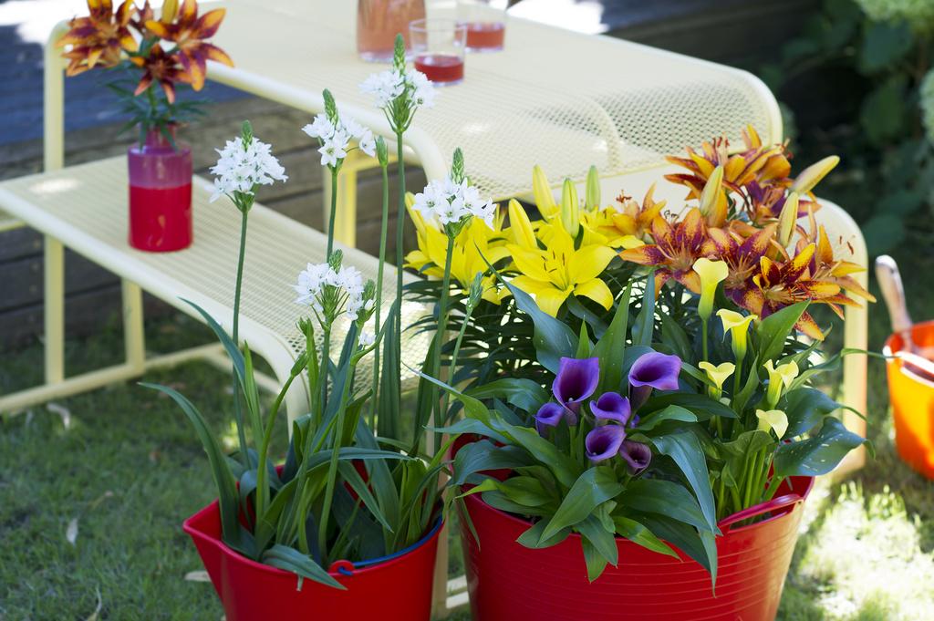 Top Gartenpflanzen des Monats Juli: Sommerzwiebelpflanzen im Topf #VF_57