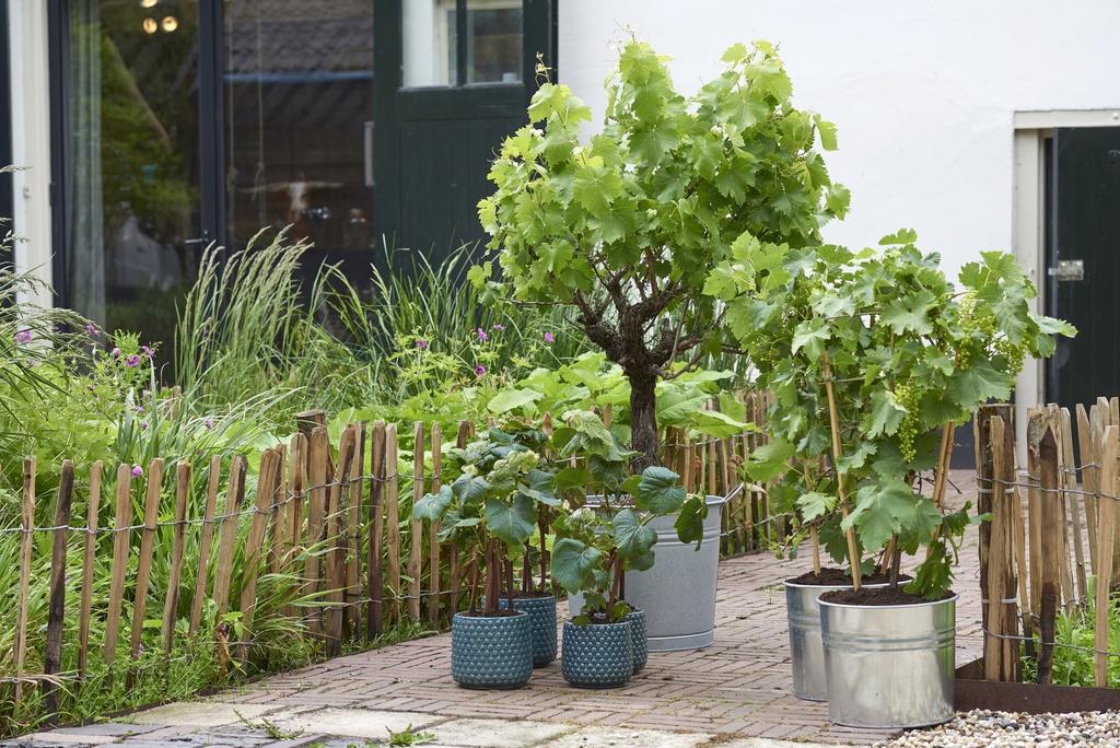 mit weintrauben und s en beeren durch den sommer fruchtige ernte aus eigenem anbau blumenb ro. Black Bedroom Furniture Sets. Home Design Ideas
