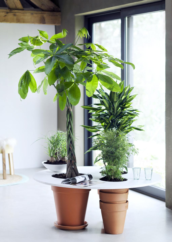 Zimmerb ume sind zimmerpflanzen des monats januar blumenb ro - Kleine zimmerpflanzen ...