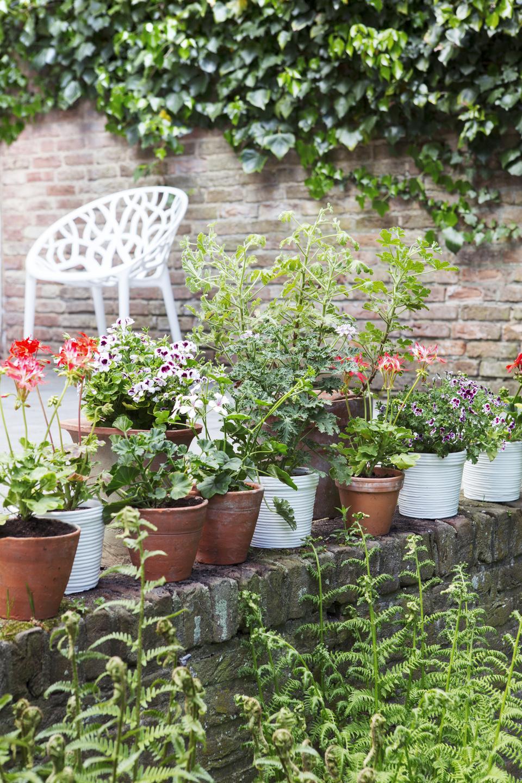 pflegeleichtes bl hwunder versch nert jeden balkon von fr hling bis herbst geranie ist die. Black Bedroom Furniture Sets. Home Design Ideas
