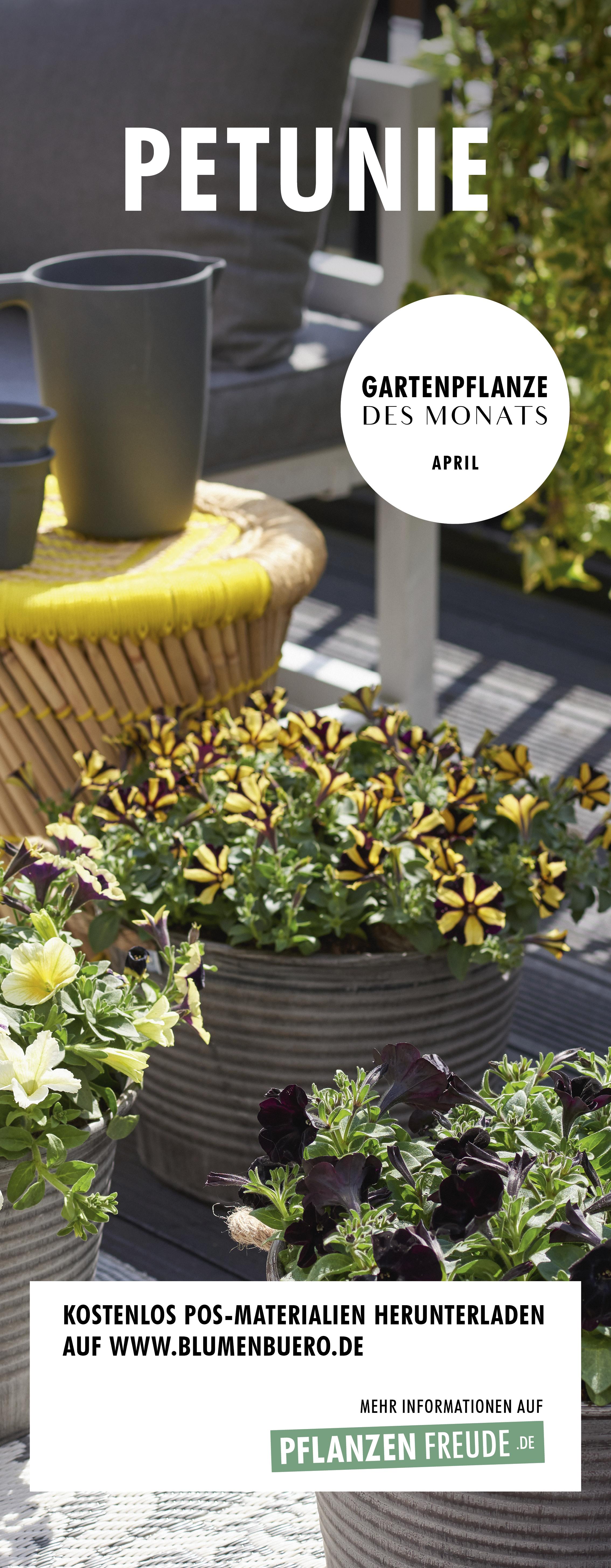 Gartenpflanze des Monats April : Die Petunie