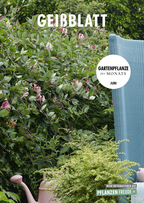 Gartenpflanze des Monats: Geißblatt