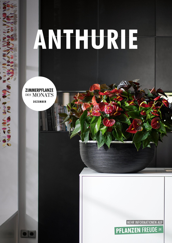 Anthurie Zimmerpflanze Des Monats Dezember 2018 Blumenburo