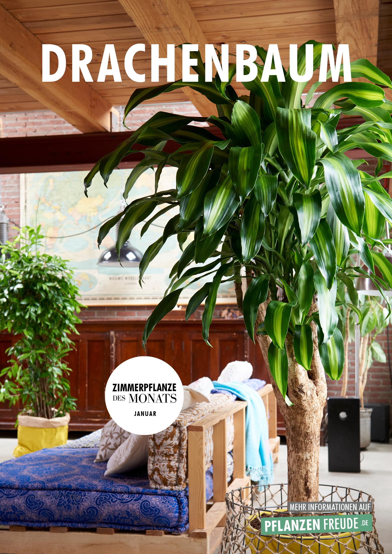 Drachenbaum Zimmerpflanze Des Monats Januar Blumenburo