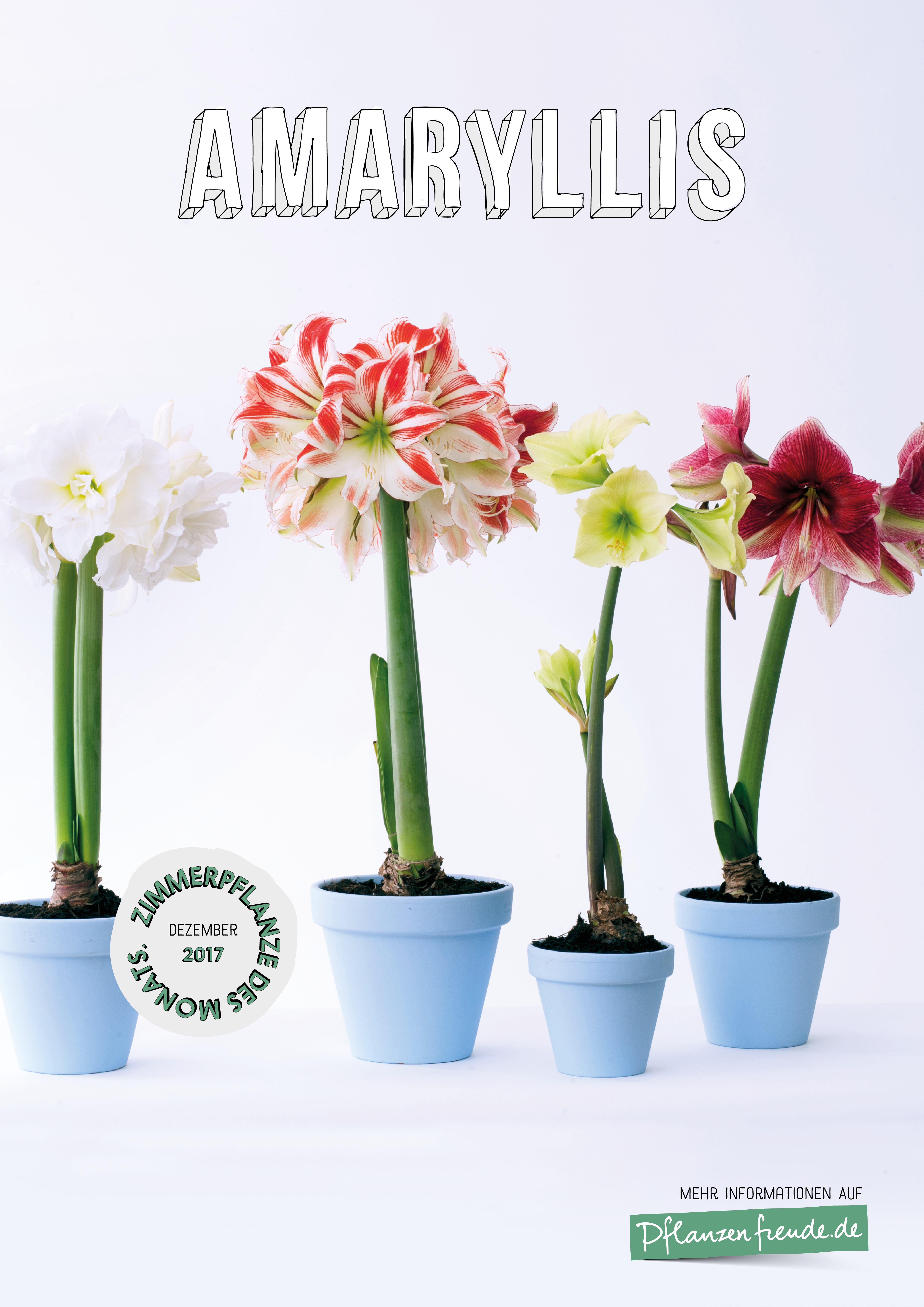 amaryllis zimmerpflanze des monats dezember blumenb ro. Black Bedroom Furniture Sets. Home Design Ideas