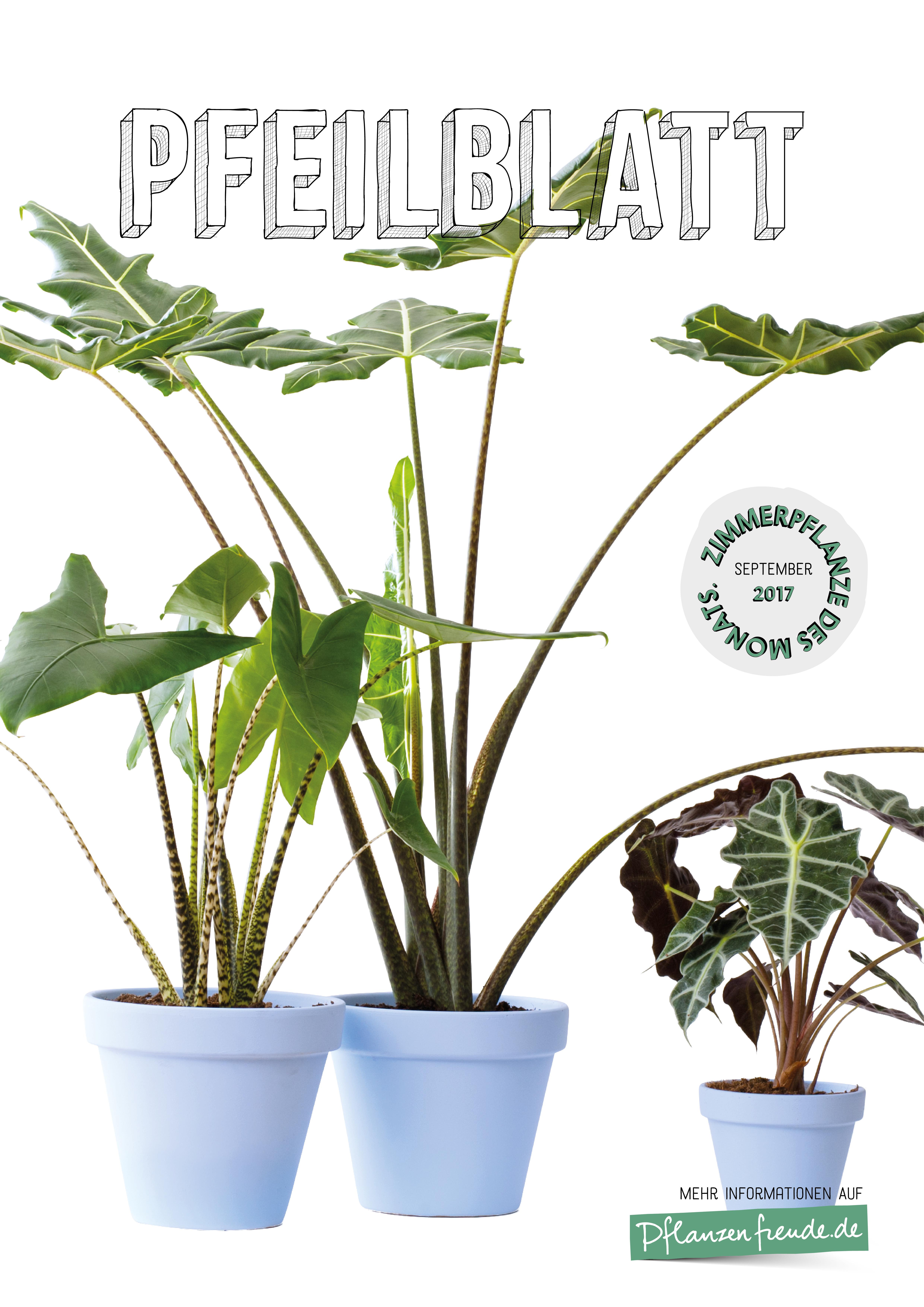 Das Pfeilblatt Zimmerpflanze Des Monats September Blumenburo
