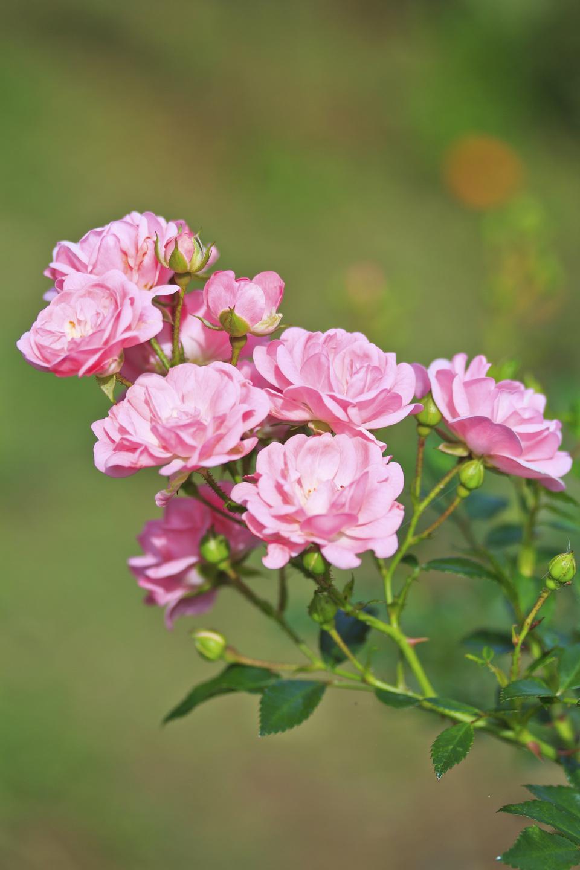 rosiger sommerauftakt mit lieblichem duft gl cksmomente mit der ersten rose im garten blumenb ro. Black Bedroom Furniture Sets. Home Design Ideas