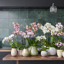 Phalaenopsis, Zimmerpflanze des Monats September 2018