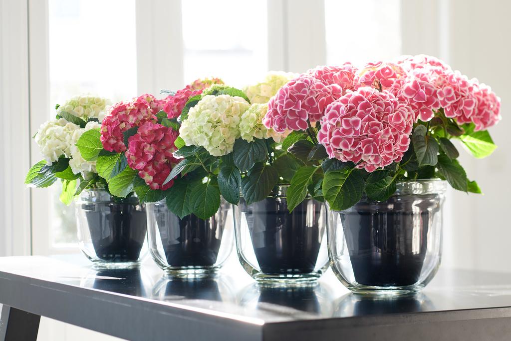 Hortensie zimmerpflanze des monats april blumenb ro - Zimmerpflanze rankend ...