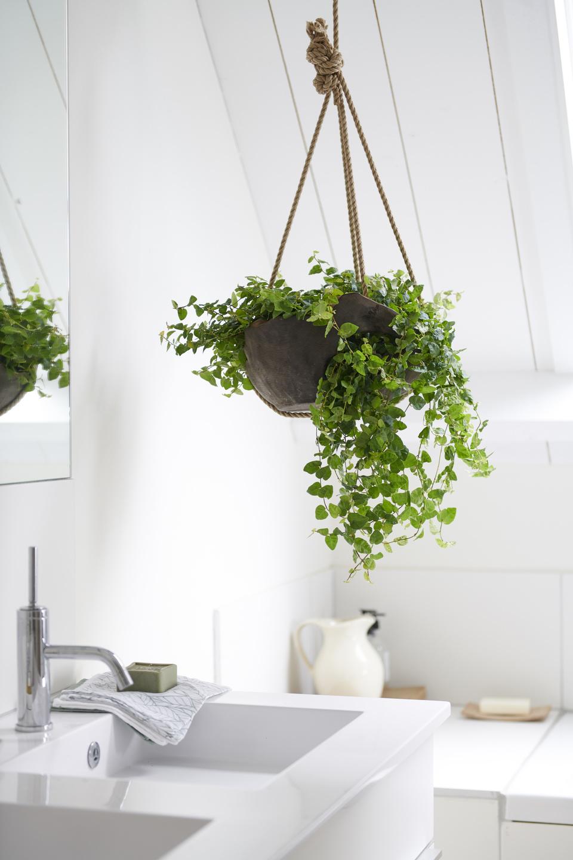 Badezimmerpflanzen: Zimmerpflanzen des Monats Mai  Blumenbüro