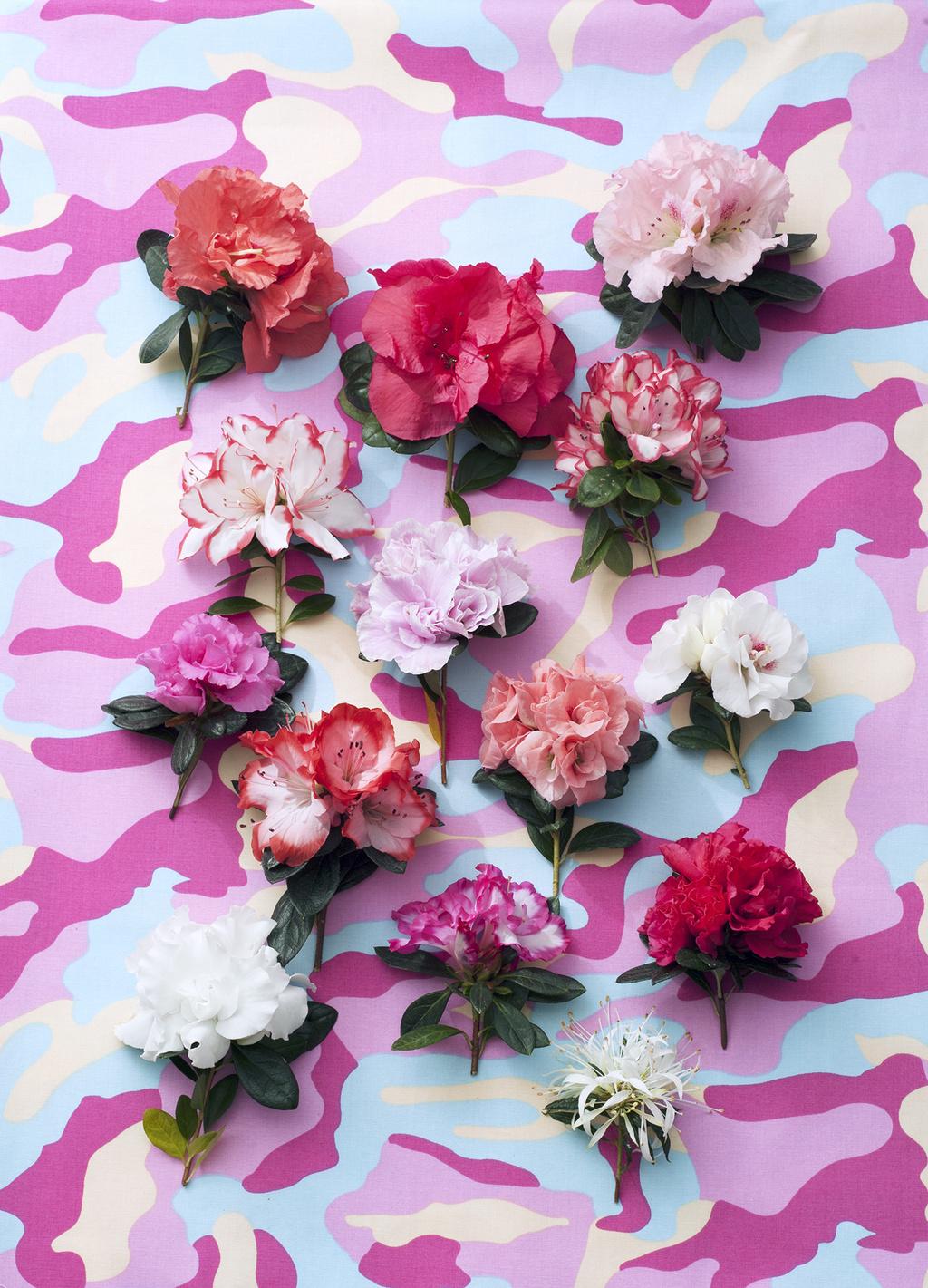Azalee ist Zimmerpflanze des Monats Dezember – Mehr Blüte als Grün ...